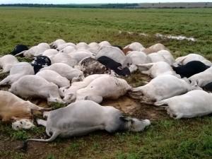 gado morto